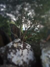 Blue tree81
